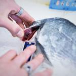Le maitre, comme au Japon, vérifie très soigneusement la qualité du poisson avant de l'acheter.