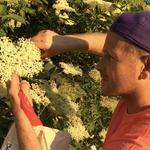 Foraging wild elderflower in Hertfordshire for my Elderflower & Vanilla Panna Cotta